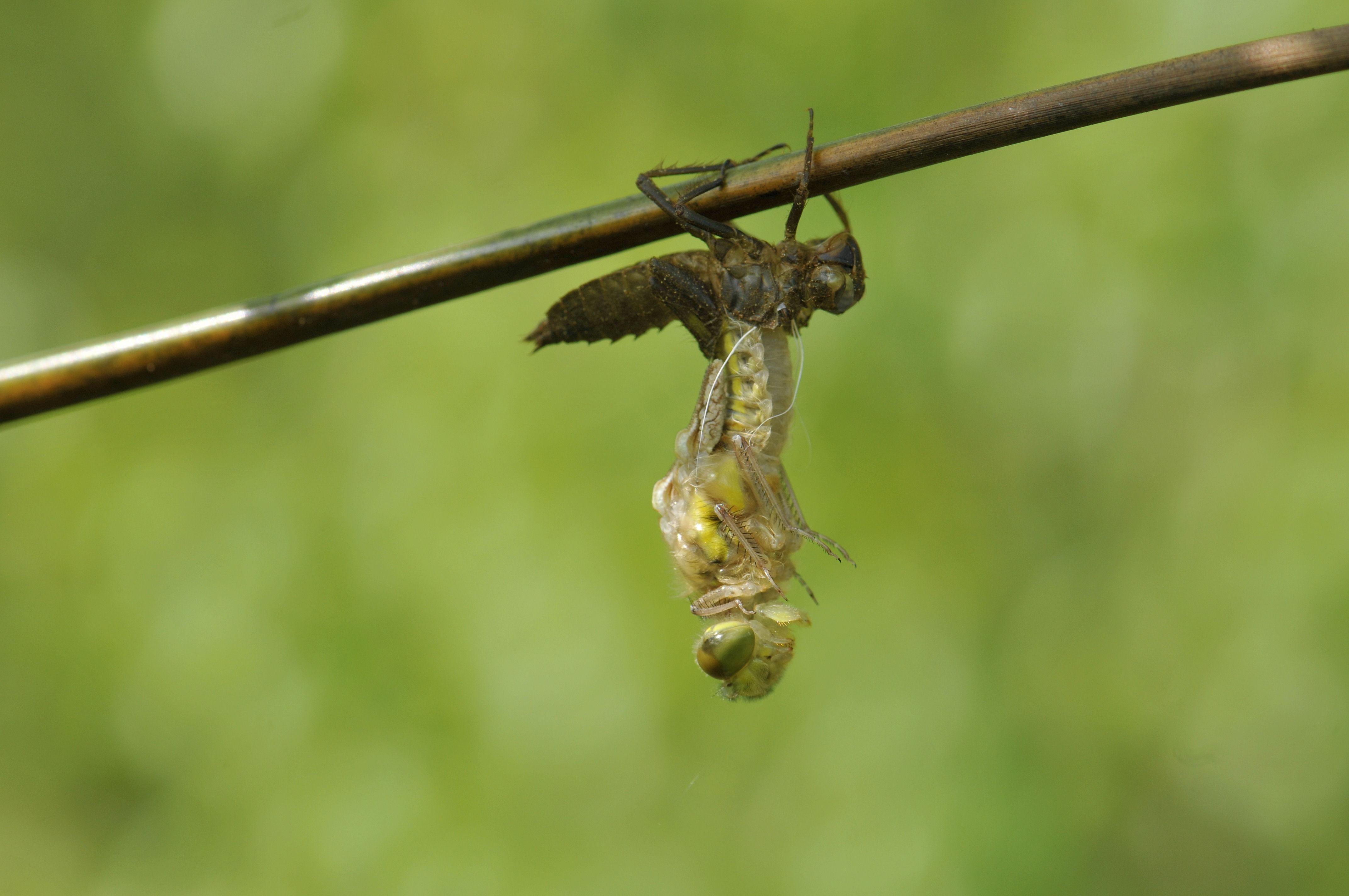 Libellenlarve bei Schlupf1
